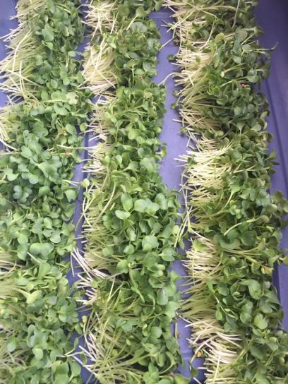 kaiwareradish